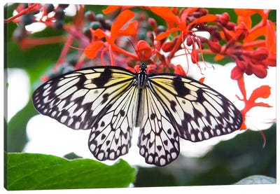 White Butterfly Canvas Print #38