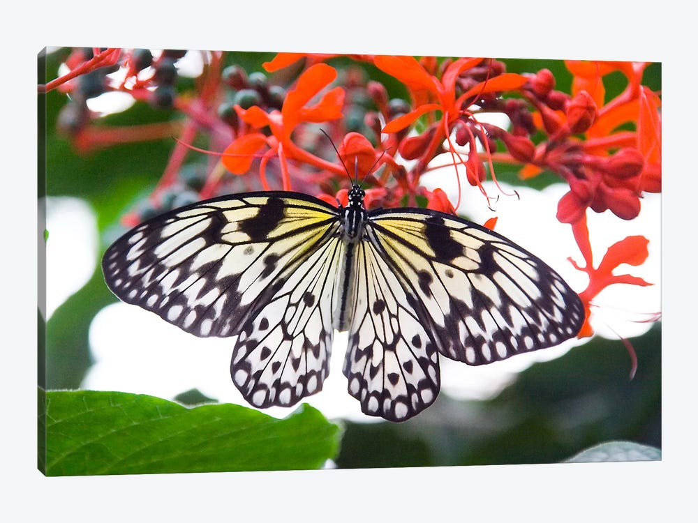 White Butterfly 1-piece Art Print
