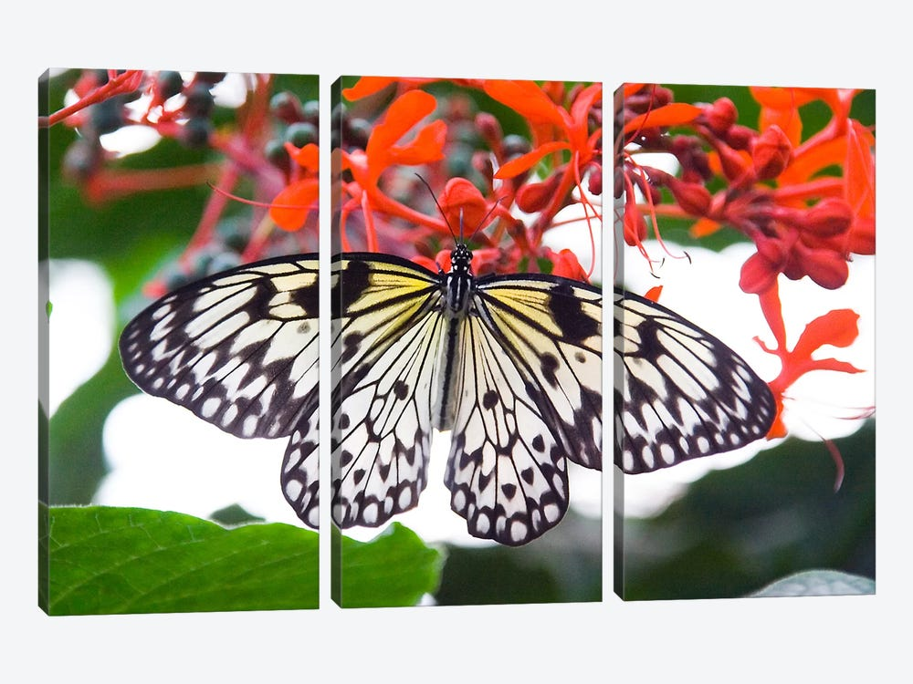 White Butterfly by Unknown Artist 3-piece Canvas Print