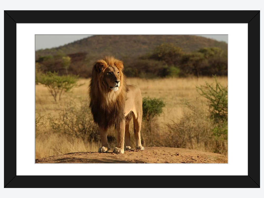 African lion framed print icanvas