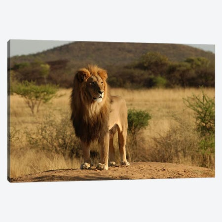 African Lion Canvas Print #45} by Unknown Artist Canvas Artwork