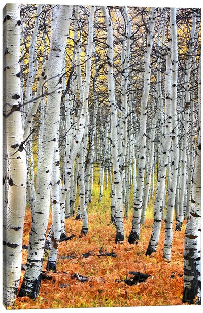 Autumn In Aspen Canvas Art Print