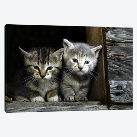 Kittens Canvas Print #59} Canvas Art