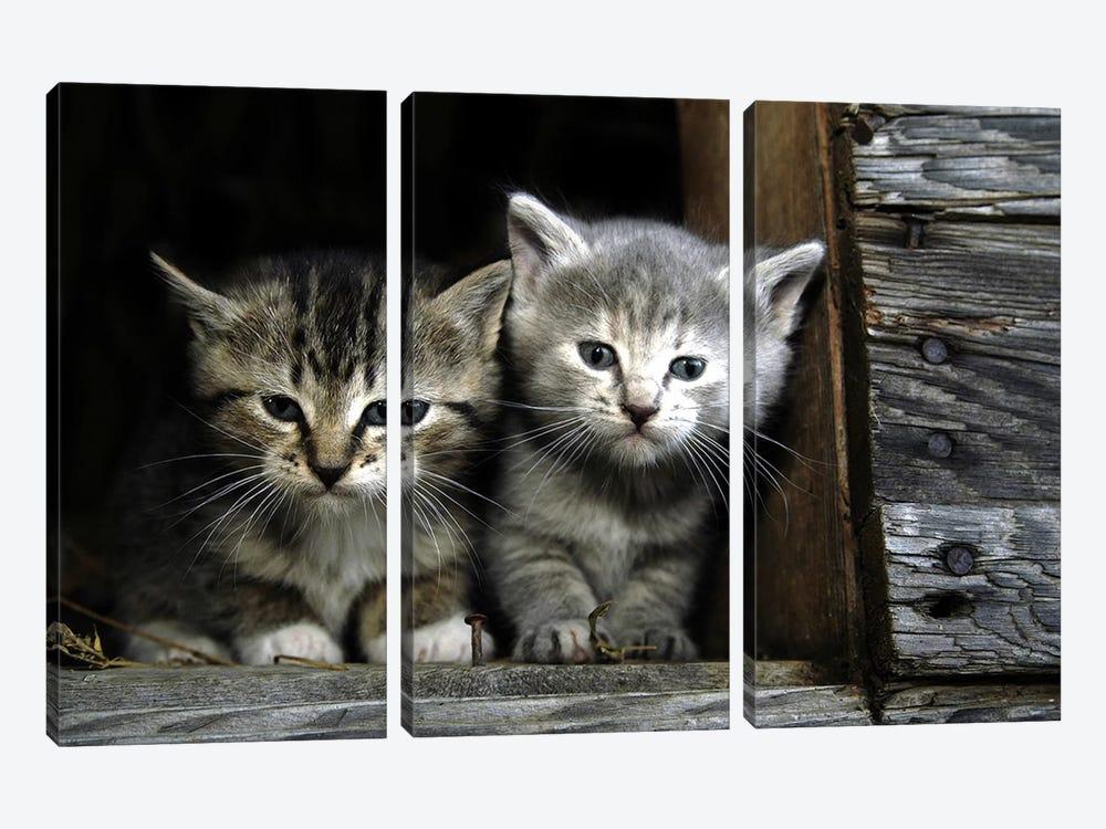 Kittens by Unknown Artist 3-piece Canvas Wall Art