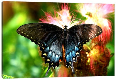 Swallowtail Butterfly Canvas Art Print