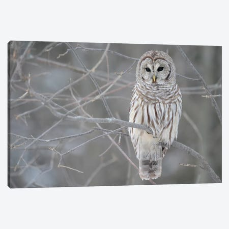 Barred Owl on Branches Canvas Print #7008} Canvas Wall Art