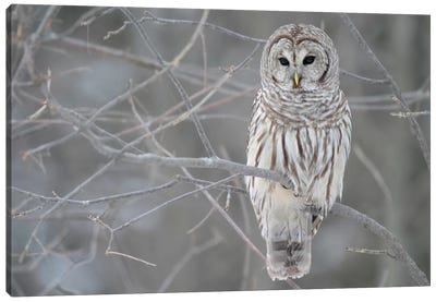 Barred Owl on Branches Canvas Art Print