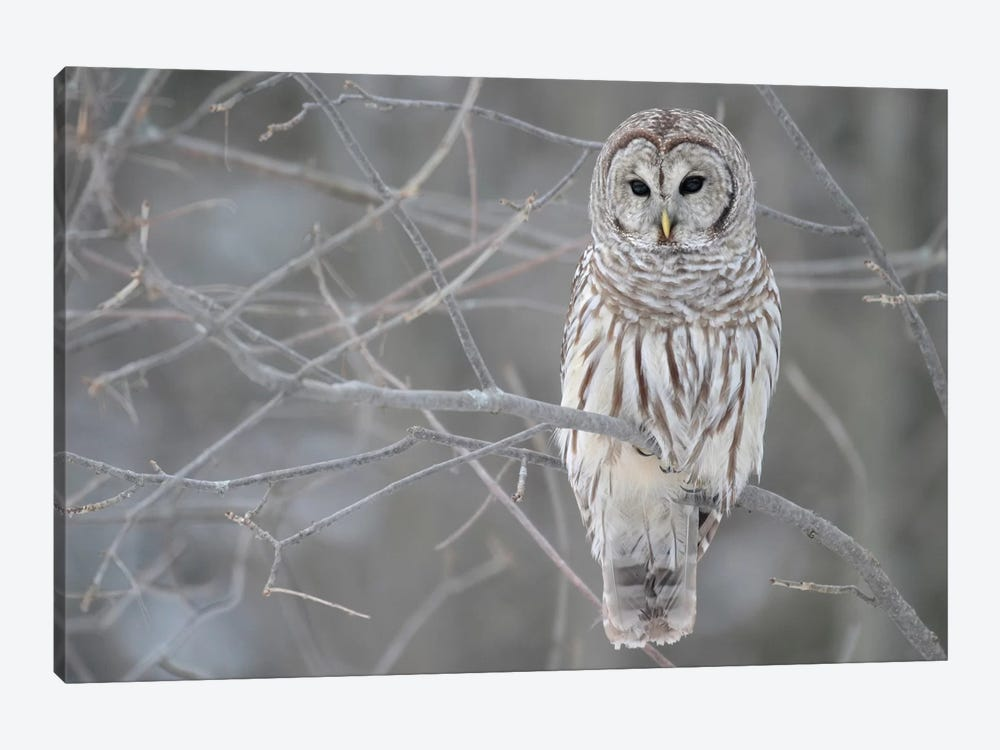 Barred Owl on Branches 1-piece Canvas Art