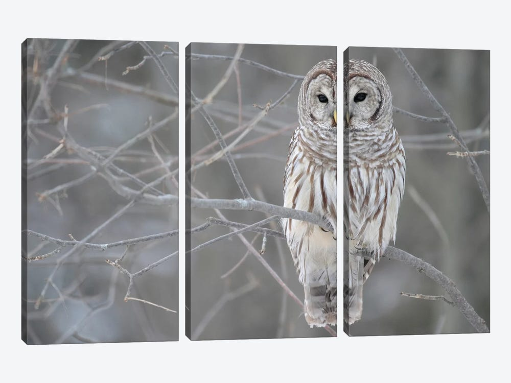 Barred Owl on Branches by Unknown Artist 3-piece Canvas Art