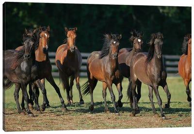 Brown Horses Running Canvas Art Print