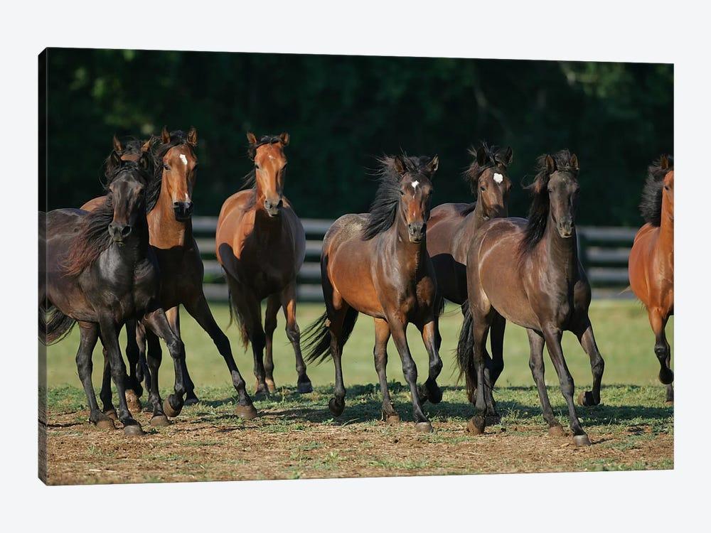Brown Horses Running by Bob Langrish 1-piece Canvas Wall Art