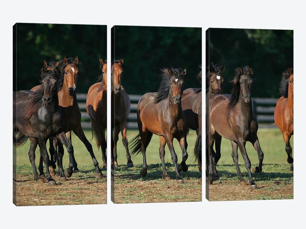 Brown Horses Running by Bob Langrish 3-piece Canvas Art