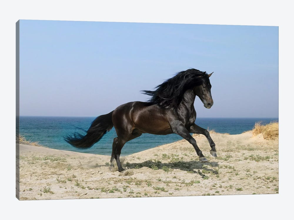 Black Horse on The Beach by Bob Langrish 1-piece Canvas Print
