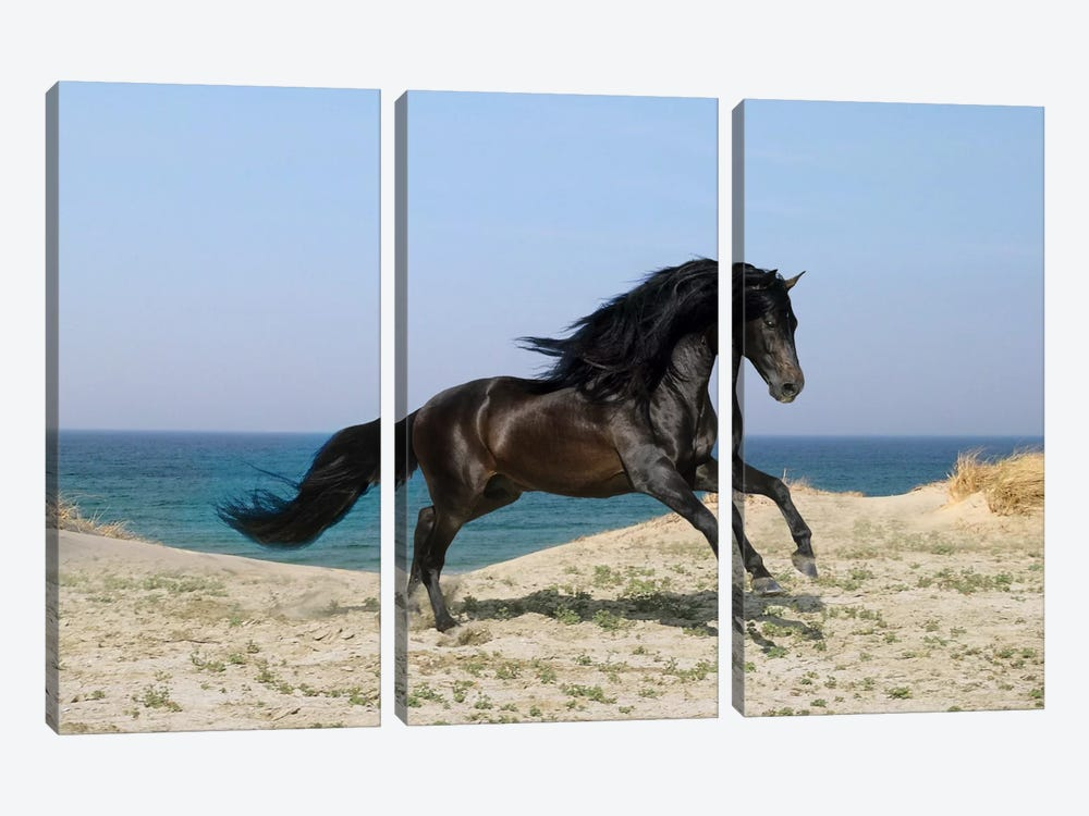Black Horse on The Beach by Bob Langrish 3-piece Canvas Print
