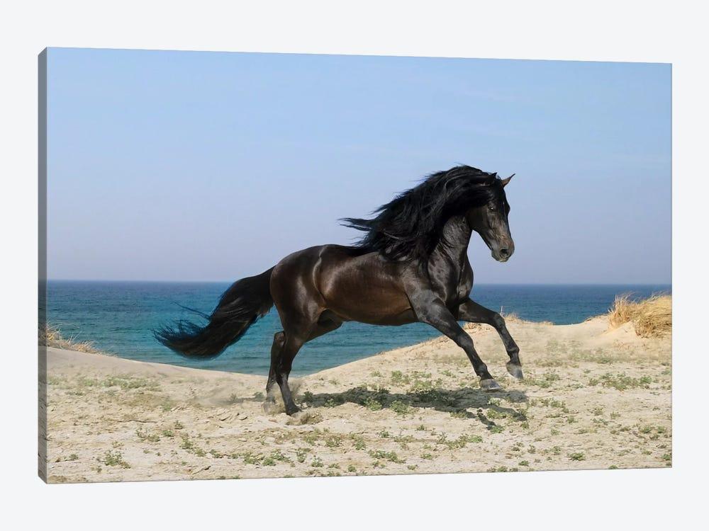 Black Horse on The Beach by Bob Langrish 1-piece Canvas Print