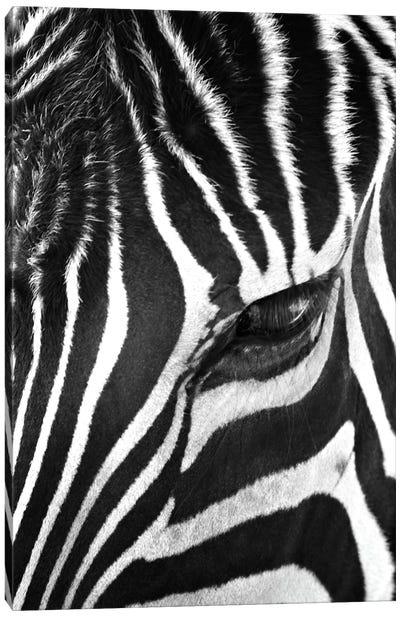 Zebra Stare Canvas Print #7049
