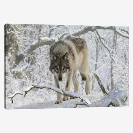 Zoo Wolf 03 Canvas Print #7057} by Gordon Semmens Canvas Wall Art