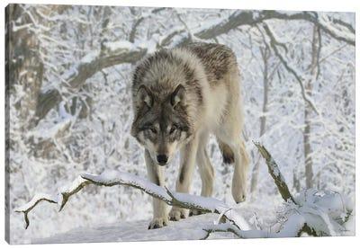 Zoo Wolf 03 Canvas Print #7057