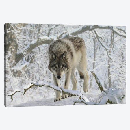 Zoo Wolf 03 Canvas Print #7057} by Gordon Semmens Canvas Wall Art