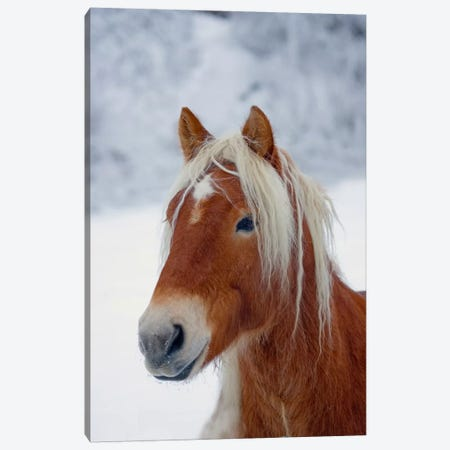 Brown Pony Canvas Print #7072} by Carl Rosen Art Print