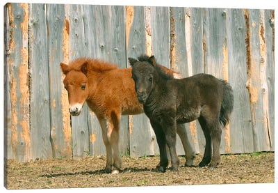 Brown & Black Pony Canvas Art Print