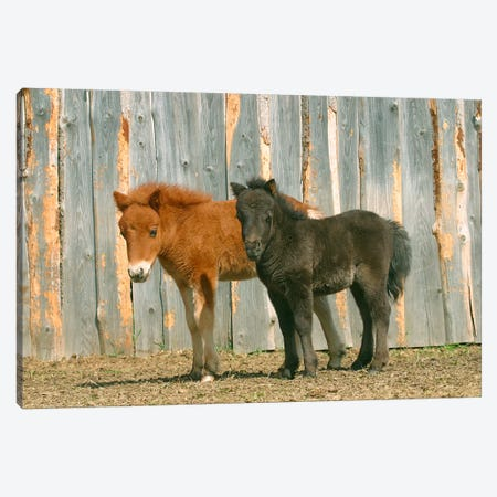 Brown & Black Pony Canvas Print #7074} by Carl Rosen Canvas Artwork