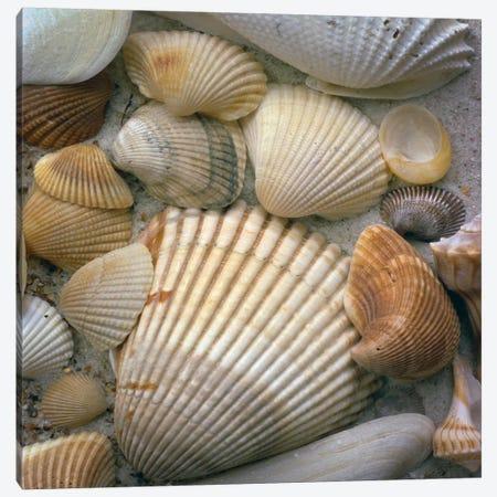 Sea Shells Canvas Print #7125} by J.D. McFarlan Canvas Artwork