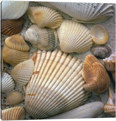 Sea Shells Canvas Art Print