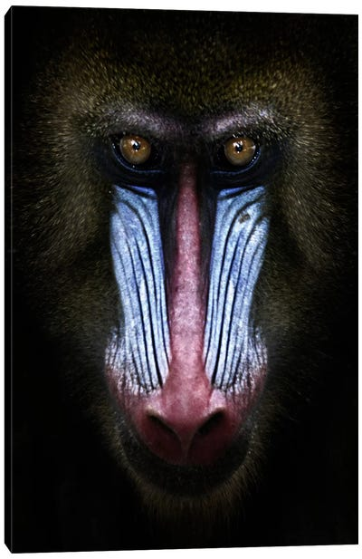 Mandrill Canvas Art Print
