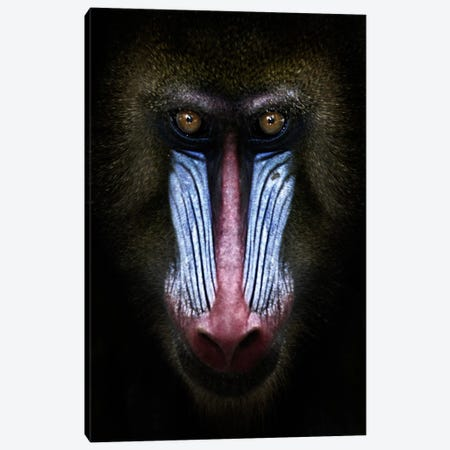 Mandrill Canvas Print #7141} by SD Smart Canvas Art Print