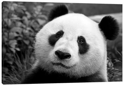 Giant Panda Canvas Art Print