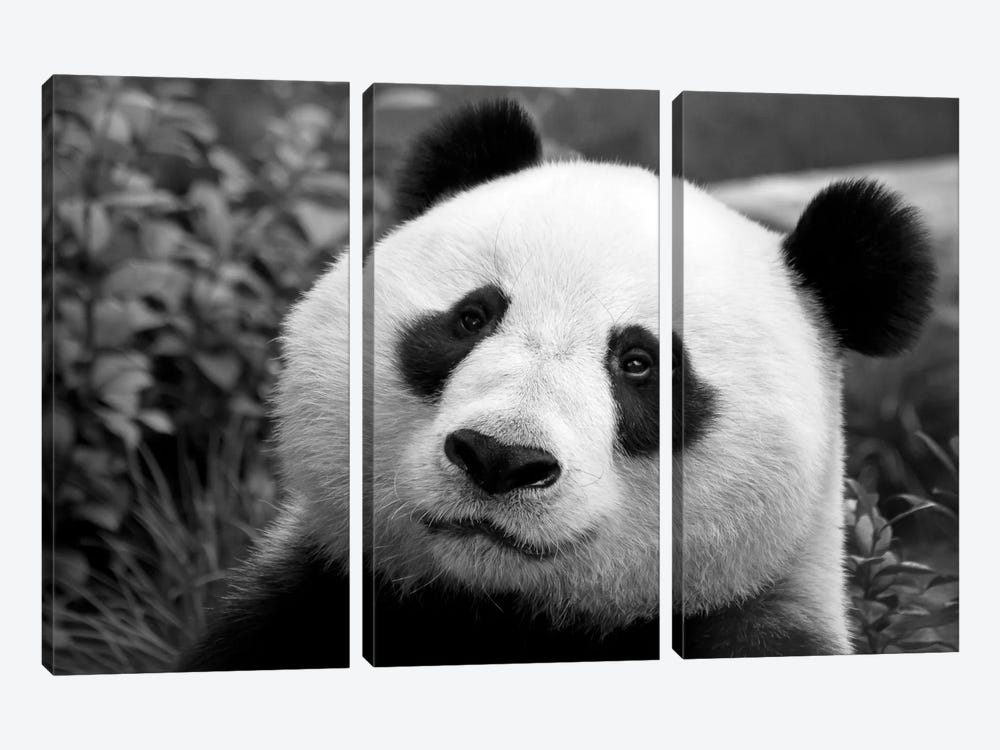 Giant Panda by SD Smart 3-piece Canvas Print