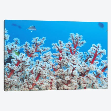 Red & White Gorgonian Coral Canvas Print #7201} by Unknown Artist Canvas Artwork