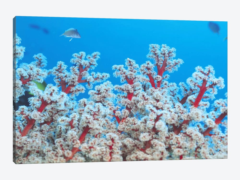 Red & White Gorgonian Coral 1-piece Canvas Wall Art