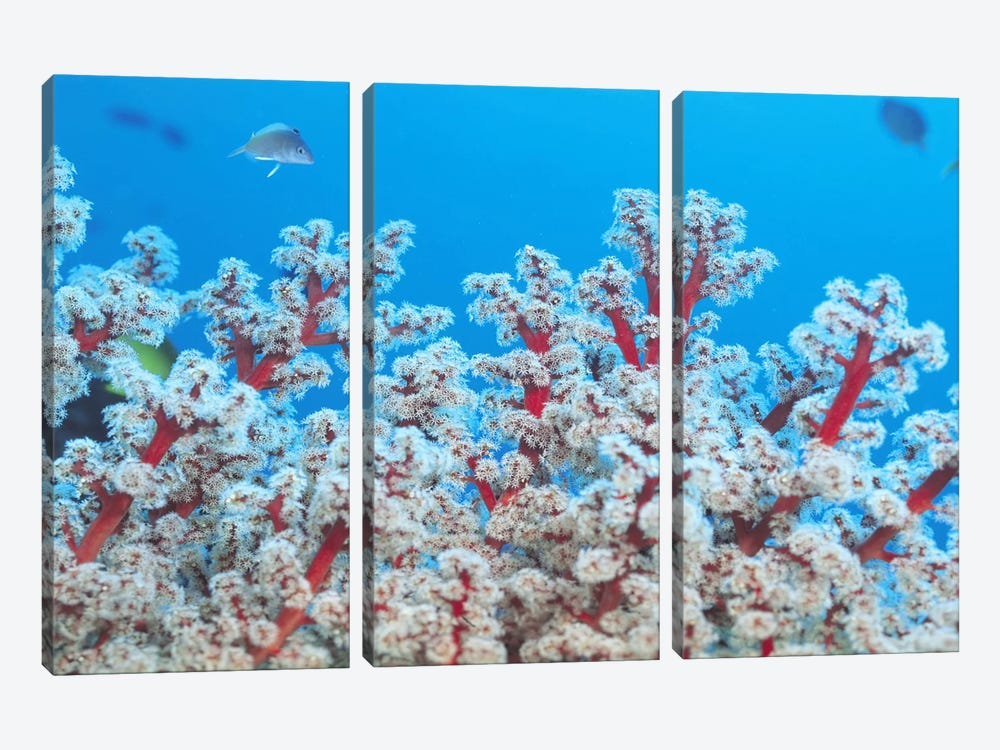 Red & White Gorgonian Coral 3-piece Canvas Artwork