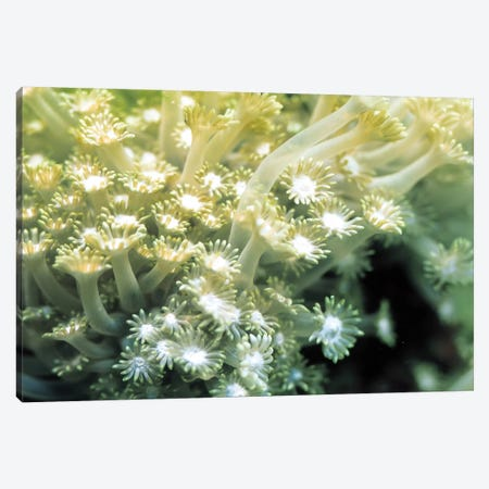 Goniopora Green Coral Canvas Print #7202} by Unknown Artist Canvas Artwork