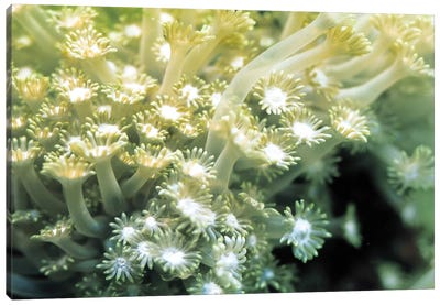 Goniopora Green Coral Canvas Print #7202