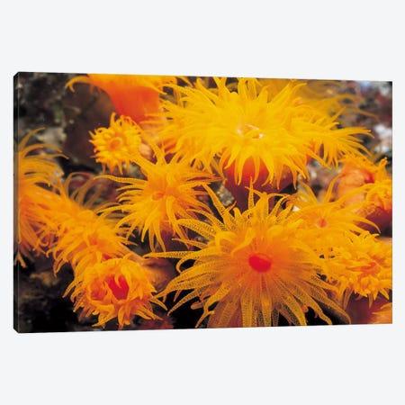 Orange Cup Coral Canvas Print #7203} by Unknown Artist Canvas Art
