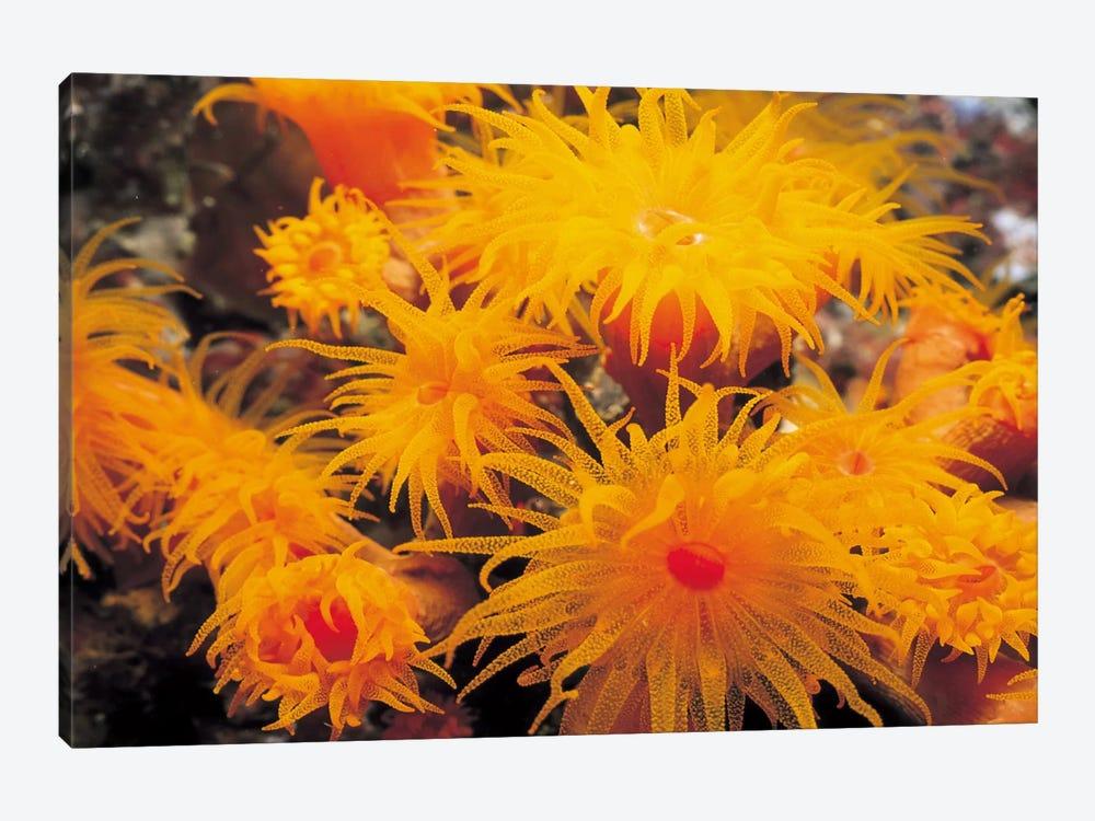 Orange Cup Coral by Unknown Artist 1-piece Canvas Artwork