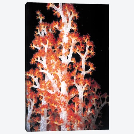 Red Gorgonian Coral #2 Canvas Print #7206} by Unknown Artist Canvas Print