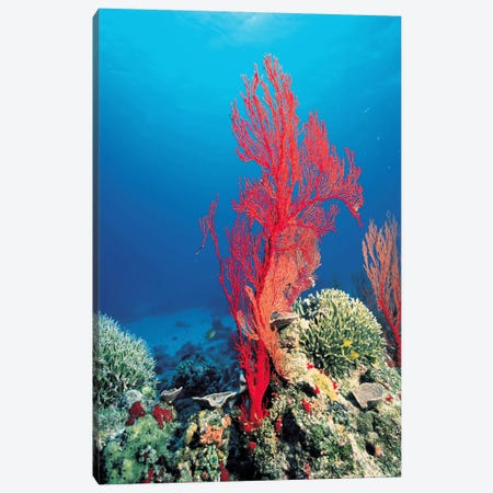 Red Coral Canvas Print #7209} by Unknown Artist Canvas Artwork