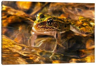 Frog Canvas Print #7308