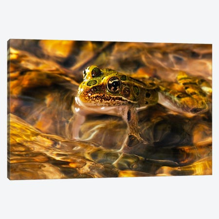 Frog Canvas Print #7308} by Gordon Semmens Canvas Art Print