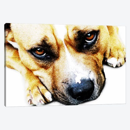 Bull Terrier Eyes Canvas Print #8761} by Michael Tompsett Art Print
