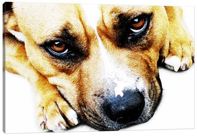 Bull Terrier Eyes Canvas Art Print