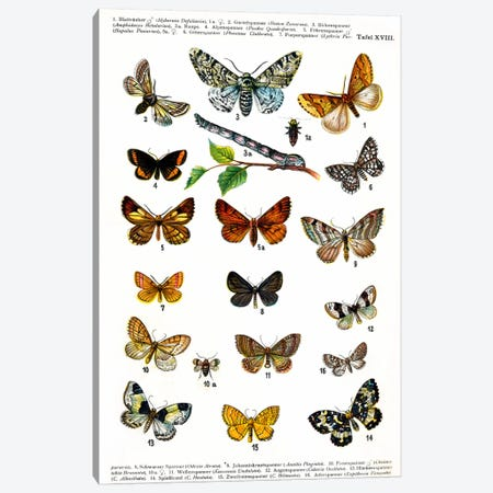 European Butterflies Canvas Print #8809} by Unknown Artist Canvas Art