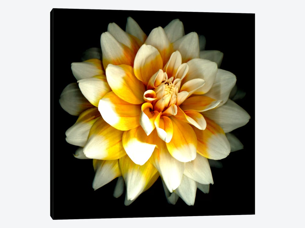 Dahlia by Susan Barmon 1-piece Canvas Art