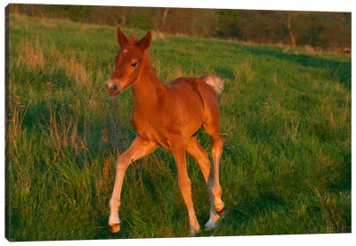 Little Brown Pony Canvas Art Print