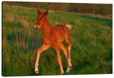 Little Brown Pony Canvas Art Print