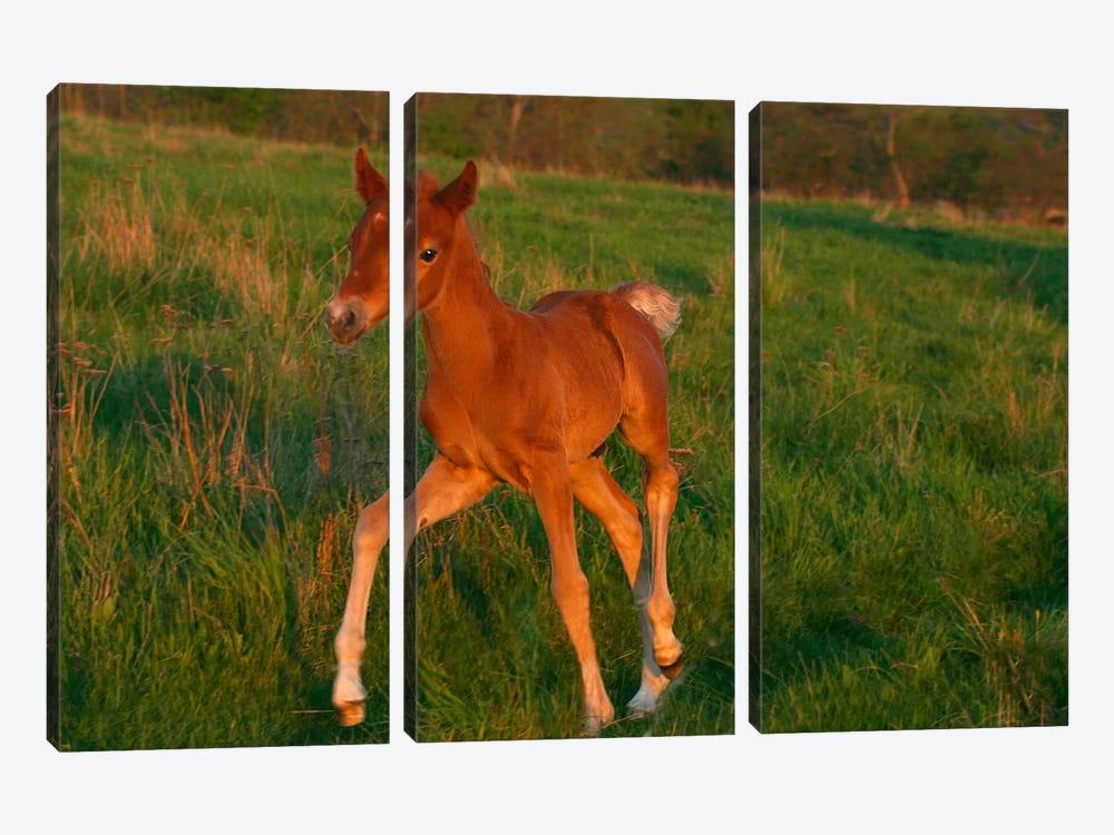 Little Brown Pony by Carl Rosen 3-piece Canvas Print